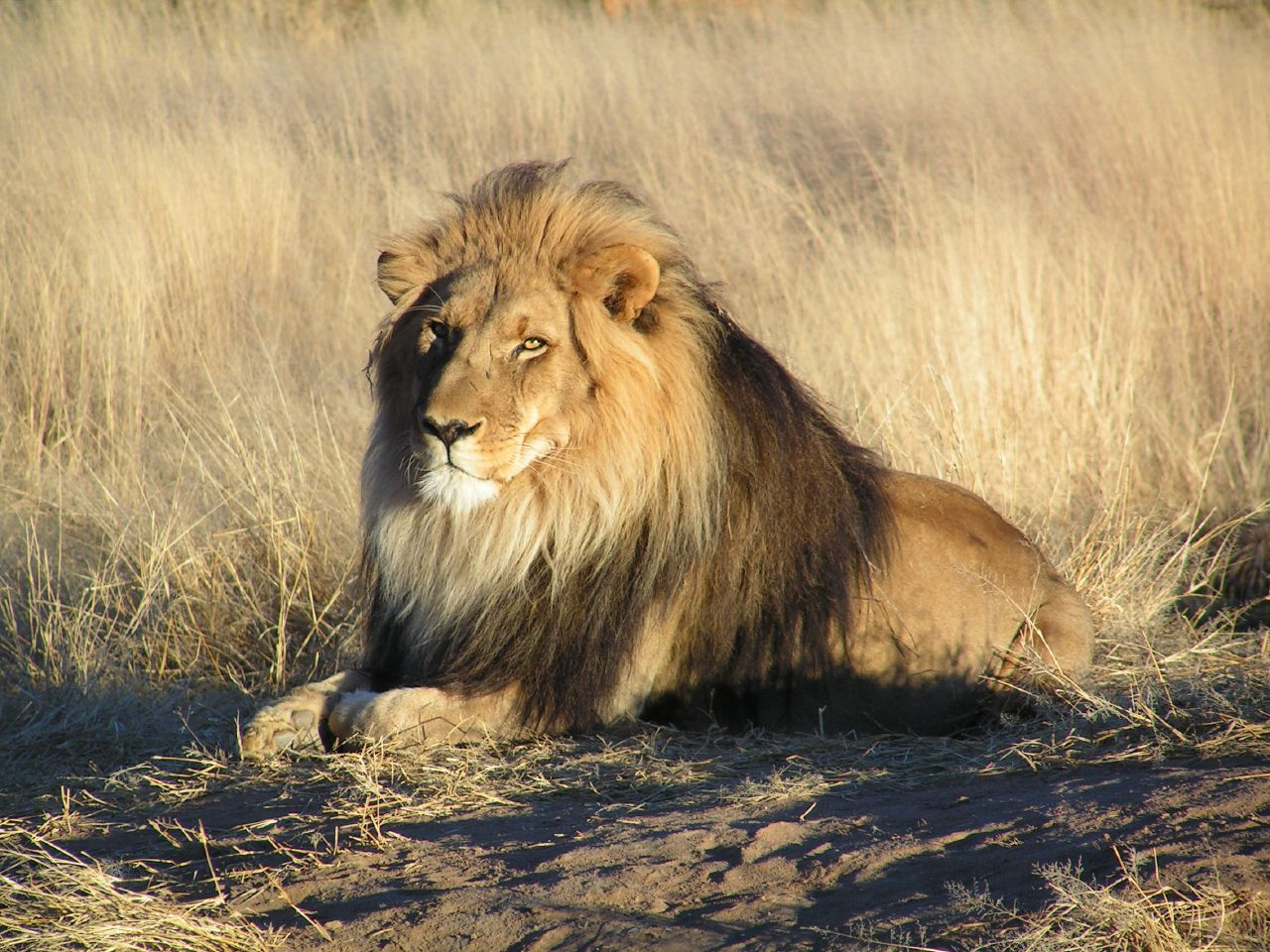 http://bundamahes.files.wordpress.com/2011/04/lion-waiting-in-nambia.jpg